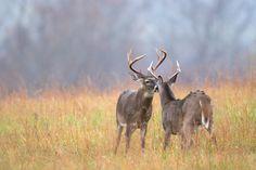 Beautiful bucks in Cades Cove