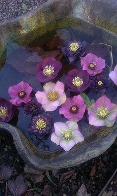 Bellafaye Garden - purple flowers in a pool