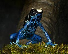 Los dendrobátidos (Dendrobatidae) son una familia de anfibios conocidos como ranas venenosas de dardo o ranas punta de flecha. Pueden encontrarse en Centroamérica y América del Sur. Destacan por sus colores brillantes pero sobre todo, por su habilidad para matar a...