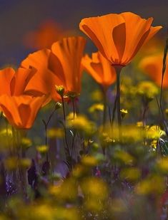 California wild poppies