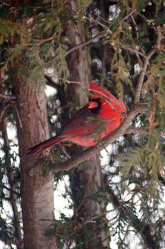 Cardinal in Cedar Tree~I love photos of birds in their natural habitat