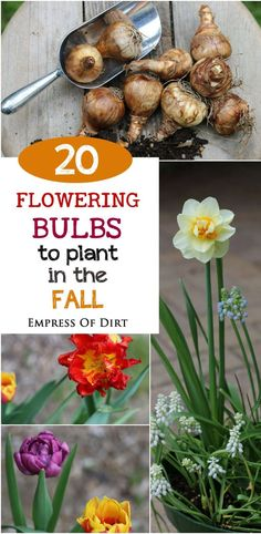 If you want beautiful pops of color in your spring garden be sure to plant flowering bulbs in the fall There are hundreds of types of bulbs to choose from and this list w. Garden Bulbs, Planting Bulbs, Garden Plants, Planting Flowers, Flower Plants, Flower Beds, Autumn Garden, Spring Garden, Container Gardening
