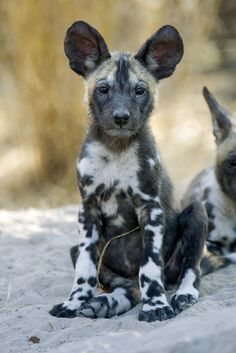 African Wild Dog (Lycaon pictus), six to eight week old pup, Okavango Delta, Botswana by Suzi Esztherhas