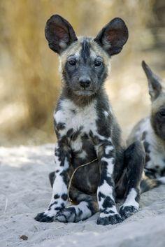 402 Best African Wild Dog Images In 2019 African Wild Dog Hyena