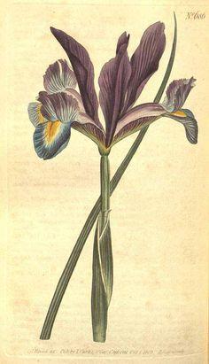 Iris xiphium L. Curtis's Botanical Magazine, (1803) [S.T. Edwards]