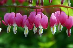 Buy bleeding heart (syn. Dicentra spectabilis) Lamprocapnos spectabilis: Delivery by Crocus