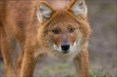 Dhole (Asiatic Wild Dog)