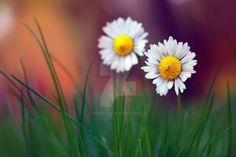 Daisy by RezzanATAKOL