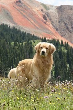 Beautiful photo of golden retriever!