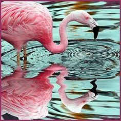 Metal Magnet Pink Flamingo Reflection In Water Bird Flamingos Birds Magnetx Pretty Birds, Beautiful Birds, Pretty In Pink, Beautiful Things, Flamingo Art, Pink Flamingos, Flamingo Beach, Pink Bird, Pink Feathers