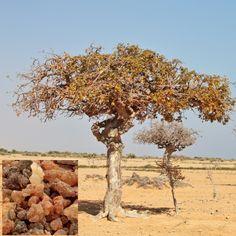 Latin Name: Commiphora myrrha Myrrh tree