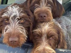 Wirehaired Pointing Griffon Pups ~ Classic Look Griffon Dog, German Wirehaired Pointer, Dog Rules, Hunting Dogs, Dogs Of The World, Four Legged, Cute Baby Animals, Mans Best Friend, Dog Pictures