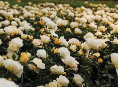 Popcorn Drift Rose Groundcover easy growing landscape shrub rose for full sun.Blooms fade to white as they age but you get the nice pale yellow buds for added interest