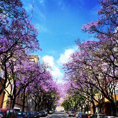 Como habitualmente por esta altura, Lisboa está salpicada de magníficos jacarandás em flor. Uma mão cheia de pétalas para quem souber que rua é esta :)