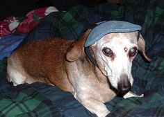 J.R. the dachshund in a jaunty cap