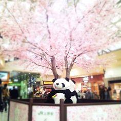 Kenichi Kamio - Sakura and Panda from Today's piano piece  Mar.23rd,2015  「桜とパンダ」 不思議と合う組み合わせだ。  上野駅にて。