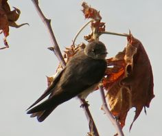Northern Rough-winged Swallow (adult): 29 July 2014, Dyke Marsh Park. Alexandria, VA, party sunny, 65 degrees, breezy, 8:15 a.m., on dead branches over the tidal inlet near trail