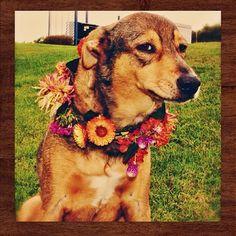 Kukar Tihar sucede en el segundo día de Tihar, también conocido como Día de la Independencia o el Festival de las Luces.   18 Outrageously Cute Photos Of Dogs Being Celebrated At Nepal's Wonderful Dog Festival