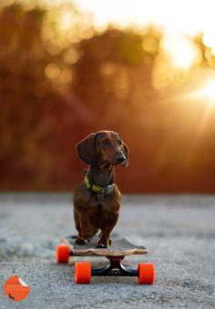 Photograph Sporting Dachshund by Petra Spoerle-Strohmenger on Dachshund Funny, Dachshund Puppies, Dachshund Love, Cute Puppies, Cute Dogs, Dogs And Puppies, Daschund, Dapple Dachshund, Chihuahua Dogs
