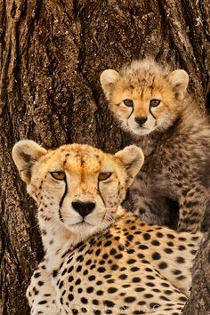 Cheetah mother with cub (Almond), Acinonyx jubatus, Serengeti National Park, Tanzania