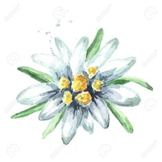 Picture of Edelweiss flower (Leontopodium alpinum), Watercolor hand drawn stock photo, images and stock photography. Simple Illustration, Edelweiss Tattoo, Watercolor Flowers, Watercolor Paintings, Icon Design, Illustrator, Mother Nature Tattoos, Memorial Tattoos, Flower Doodles