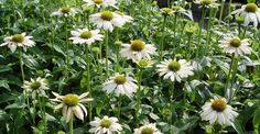 Image result for echinacea powwow white