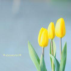 #チューリップ#tulip#flower