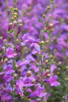 backyard against house:  Penstemon heterophyllus 'Margarita BOP'