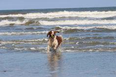 Welsh Springer Spaniël Django enjoying the sea. Copyright: Van Geerdersbeek Photography