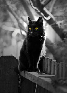 .handsome black cat.