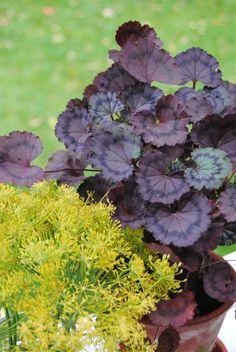 Pelargonium 'Trudy'