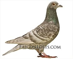 pigeons for sale racing homers Racing Pigeons For Sale