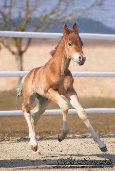 Shootingstar Quarterhorses | Verkaufspferde