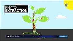 Environnement, dépollution des sols par les plantes