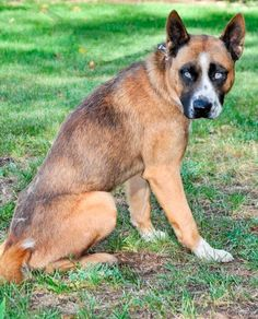 Sky - I'm tall, dark & handsome, an active #dog ready for my forever home.  #Adopt me during #AdoptAShelterDog month at Yakima Humane Society. www.yakimahumane.org.