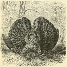 Gorgeous 19th-Century Illustrations of Owls and Ospreys | Brain Pickings