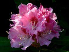 """rustyruth1959 posted a photo:  Ripponden  Rhododendron, from Ancient Greek ῥόδον rhódon """"rose"""" and δένδρον déndron """"tree"""".  What a difference a week and a few days of sunshine make. This time last week this tree was covered in closed flower buds, now the whole bush is covered in these pink flowers.  Thank you for your visit and your comments, they are greatly appreciated."""