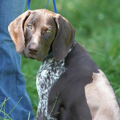 German Shorthaired Pointer - Deutsch  Kurzhaar