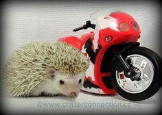 #hedgehog #hedgie #lol #motorcycle #funny #cute #adorable