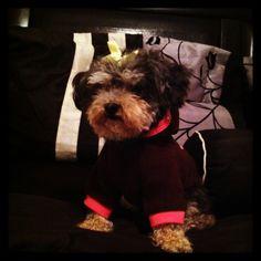 #yorkiepoo #dogs #cute