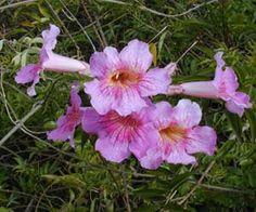 Flores da trepadeira Sete-léguas