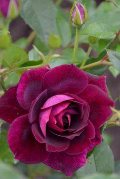 Rose 'Burgundy Ice'