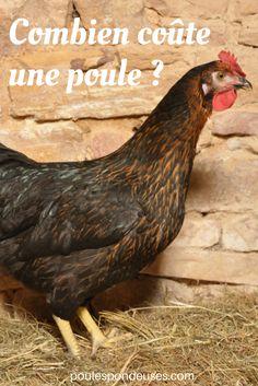 Poule marans noir cuivré Oeuf 65g extra roux ; bonne