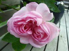 Rose, Salet