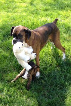 boxer dog playing | H U M A N™ | нυмanACOUSTICS™ | н2TV™