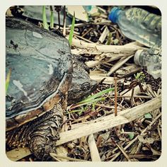 Instagram: (Snapping Turtle in Trash Along the River Bank) Days after earth day Montreal's nature parks are an environmental tragedy!