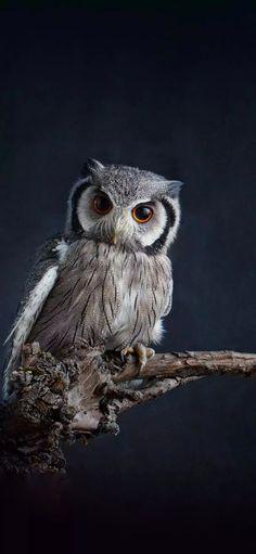 Owl Bird, Birds 2, Cute Owl, Owls, Beautiful, Butterflies, Wallpapers, Animaux, Owl