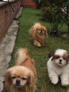 #shitzu#pekines#dog