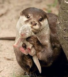 An animal's eyes have the power to speak a great language. Mrs Otter proudly showing off her baby