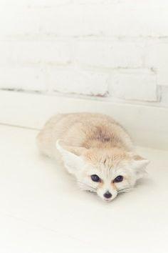 Everything Fox – Baak Turn Animals Fennec Fox Pet, Pet Fox, Nature Animals, Animals And Pets, Funny Animals, Gato Animal, Cute Little Animals, Cute Creatures, Spirit Animal